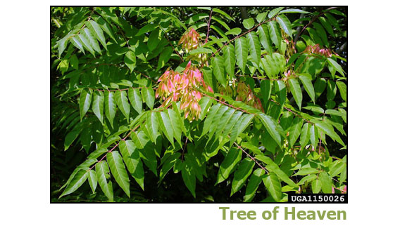Tree of Heaven
